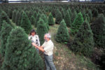 Christmas_tree_farm_East_Lansing_MI_check_for_pine_shoot_beetles
