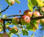 apple-tree-360083_1280-e1444639046208-300x252