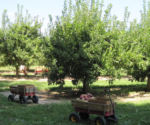 pickin-apples-wagon-orchard-lg-resized