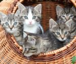 Baskets of Kittens