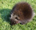 A Wild Porcupine