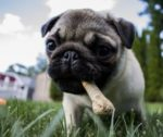 Dog Chewing on Bone